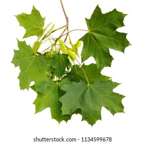 Green summer branch of maple on white isolated background