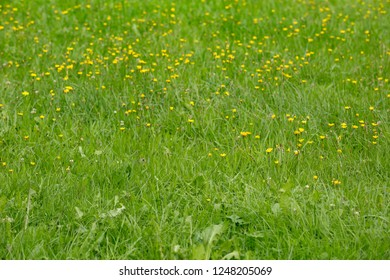 Green summer meadow with yellow buttercups