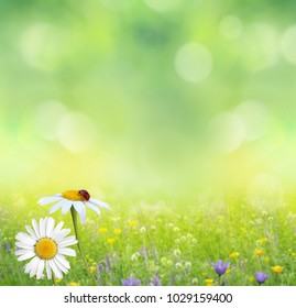 Green summer nature background with chamomile flowers.Spring floral landscape  with green grass and daisies