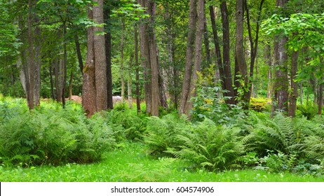 Green summer vegetation and ferns in a pine forest