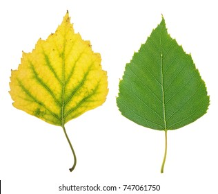 Green summer and yellow autumn leaf of birch isolated on white background