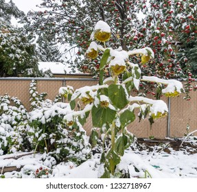 Green sunflower plant in snow with roman tree with red fruit on background