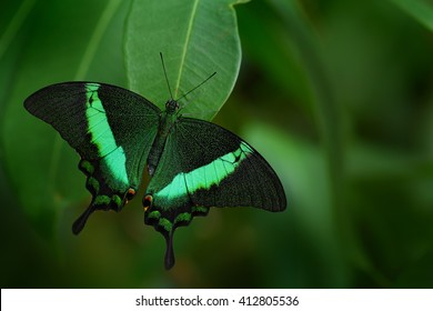 Green swallowtail butterfly, Papilio palinurus. Insect in the nature habitat, sitting in the green leaves, Indonesia, Asia. Wildlife scene from green forest.