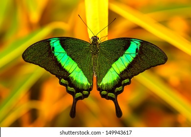 Green swallowtail butterfly resting on a leaf in morning nature.