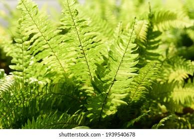 Green Sword Fern or Fishbone fern (Nephrolepis cordifolia) in a garden, Decoration leaf plant, Spring season Nature background