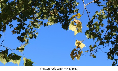 Green Sycamore Tree Leaves Glowing In Afternoon Sunlight Against Cloudless, Deep, Blue Sky During The Season Of Fall On A Farm In The Mountains Of South West Virginia