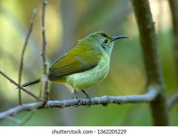 Green Tailed Sunbird or Nepal Yellow Backed Sunbird Female