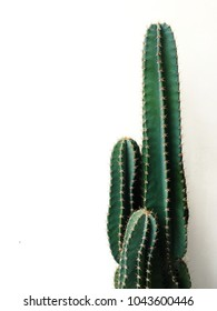 green tall cactus on white-painted wall background