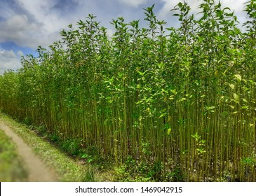 Green and tall Jute plants. Jute cultivation in Assam in India.