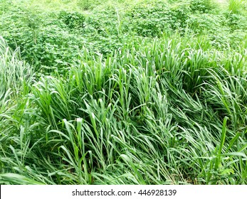 Green, tall para grass or buffalo grass in a field as background