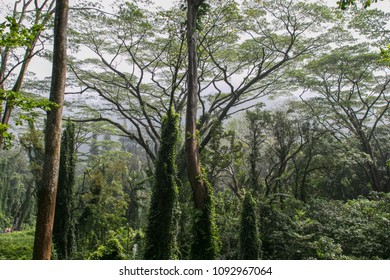 Green tall trees at the Manoa Falls Trail in Hawaii