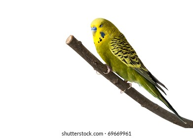 A green tame budgie sitting on a branch