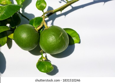 Green tangerines on a branch with leaves after rain. Tangerine season. Fresh ripe tangerines and leaves image, soft focus
