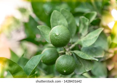 Green tangerines ripening on the tree. Authentic farm series.