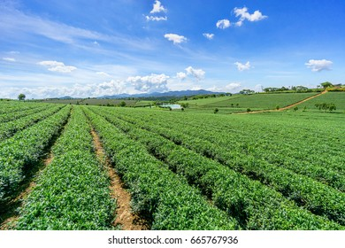 Green tea bud and fresh black tea leaves, tea plantations fields in Bao Loc, Lam Dong, Vietnam