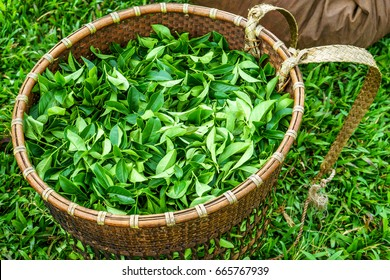 Green tea bud and fresh black tea leaves, tea plantations fields in Bao Loc, Lam Dong, Vietnam