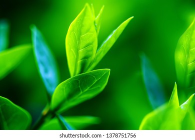 Green tea bud and fresh leaves. Tea plantations. Small depth of