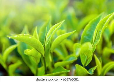 Green tea bud and fresh leaves. Close up tea leaves - plantations fields in Nuwara Eliya, Sri Lanka
