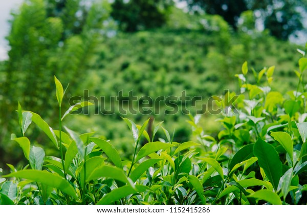 Green tea bud and fresh leaves in the tea plantations close up green background