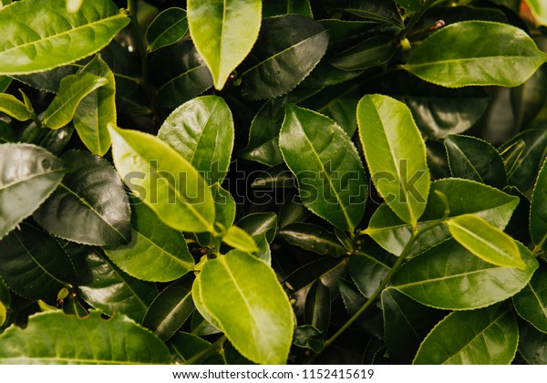 Green tea bud and fresh leaves. Tea plantations. close up green background