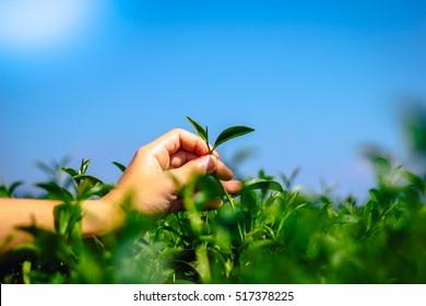 Green tea bud and fresh leaves.Handle with leaves tea.Tea plantations. Chuifong Farm,Thailand