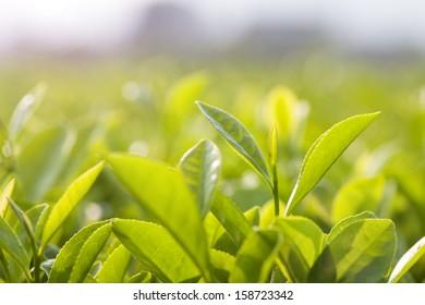 Green tea bud and leaves