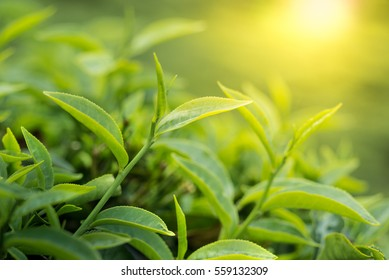 Green tea bud and leaves on the sun