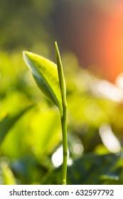 green tea close up, cameron higlands malaysia