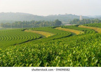 Green tea curve on hill in a morning, Chiang Rai, Thailand, Asia