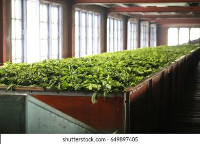 Green tea drying in factory in Nuwara Elya, Sri Lanka