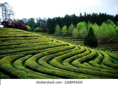 green tea, green tea farm