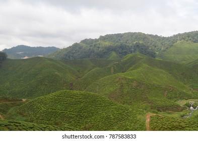 The Green Tea Farm