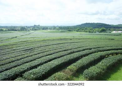 Green tea farm as background