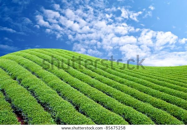 Green tea farm with blue sky background