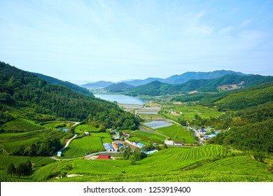 Green Tea Farm in Boseong-gun, South Korea.