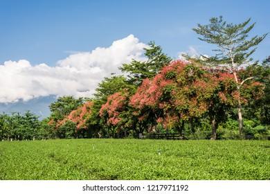 green tea farm at countryside, landscape in Luye, Taiwan