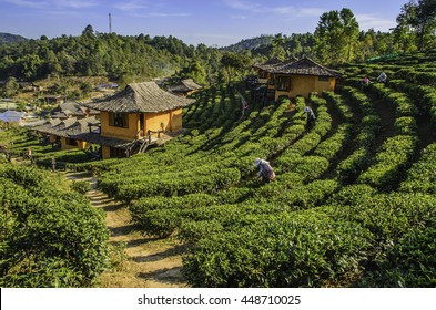 Green tea farm resort.