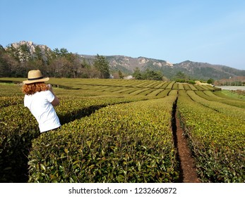 Green tea farm-jeonnam traval-original photo