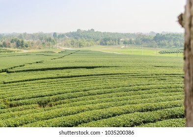 Green Tea Field 1