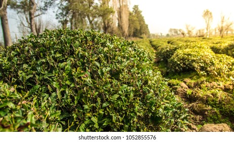 Green tea field with blue sky and morning sun light effect. Spring time landscape and background.