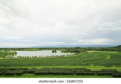 Green tea field with blue sky