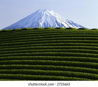 Green tea fields in front of Mt. Fuji