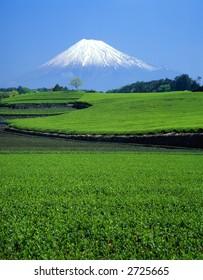 Green tea fields and Mount Fuji