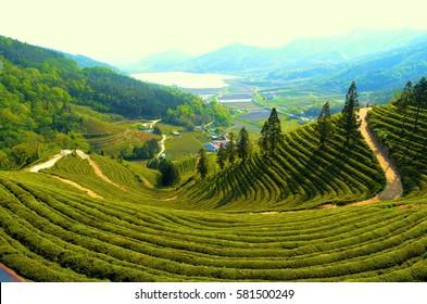 Green tea fields South Korea