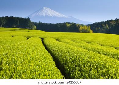 Green tea fields spread out below Mt. Fuji