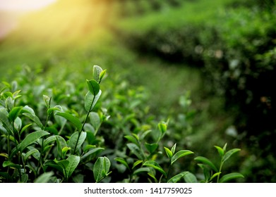 Green tea fresh leaf extract Ready to harvest - Image