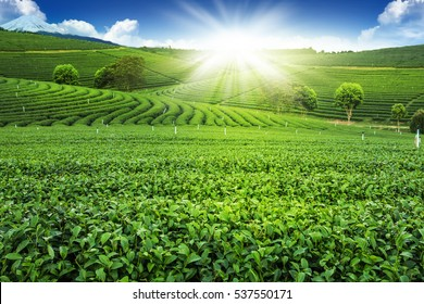 Green tea garden landscape sunset hill cultivation
