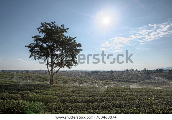 Green tea garden landscape sunset hill cultivation.Tea Plantations at Cameron Highlands thailand. Sunrise in early morning with fog.Irrigation system in large plots. Water system in agriculture.