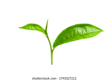 Green tea leaf isolated on white background with clipping path.