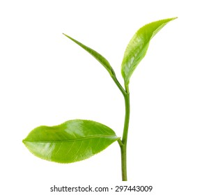 Green tea leaf isolated on the white background.